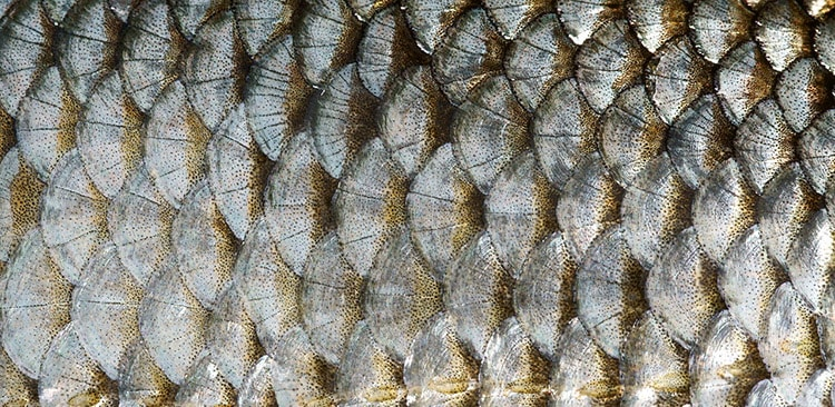 cleaning fish scales