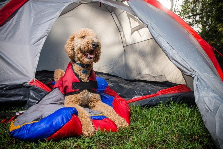 Dog Laying Next To Tent