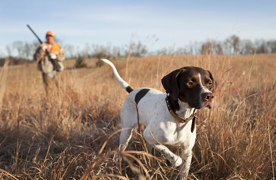 Pointer Dog Huntings