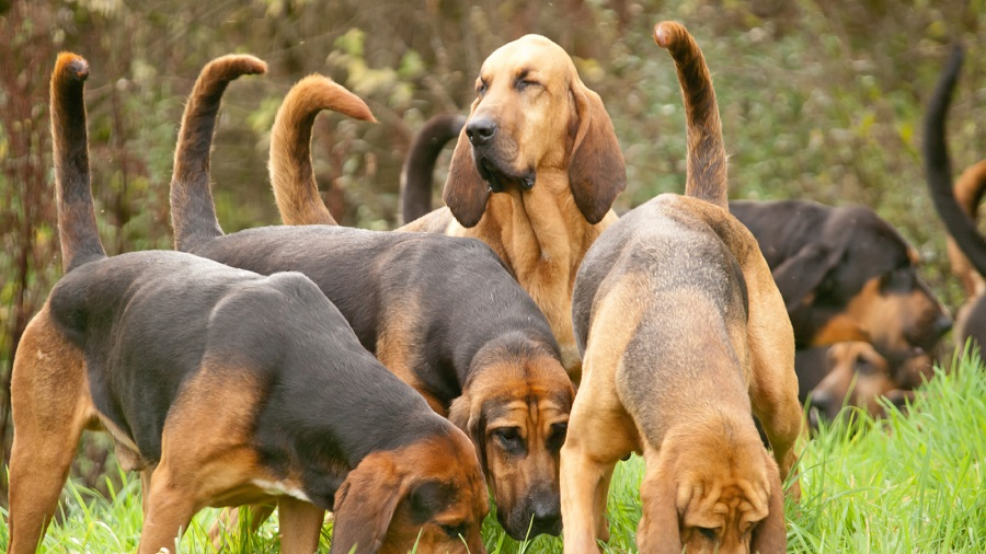 bloodhound huntings